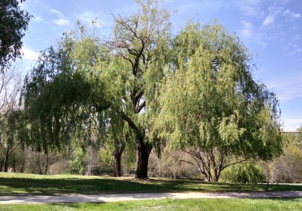 Saule pleureur Parc de la Torse Aix-en-Provence